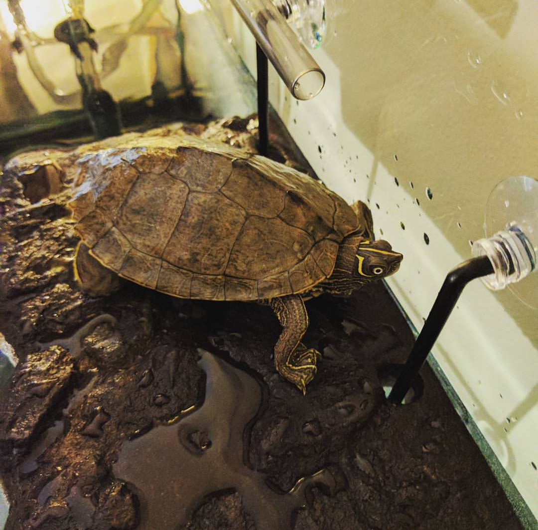 """This Mississippi Map Turtle is named Eli. He doesn't eat dog or cat food, but wanted to say """"Hi!"""" (Federal News Network/Alazar Moges)"""
