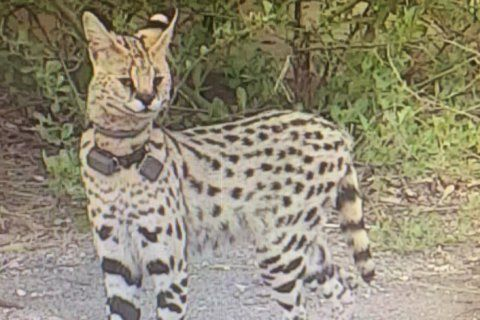 Exotic pet cat on the loose in Virginia roamed from NC home