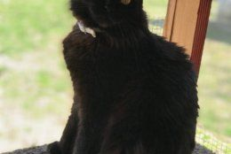 Freddy Krueger likes tuna or turkey-and-giblets wet food. (Federal News Network/Steff Thomas)