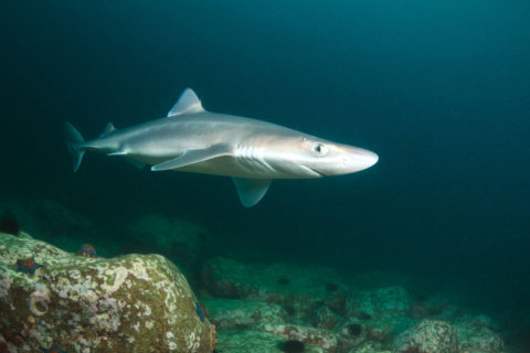 Fewer dogfish to be commercially fished on East Coast in 2019