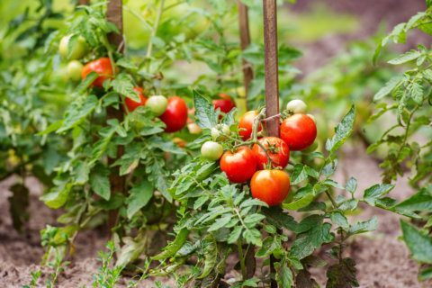 Springtime tips: When to mow your lawn, bring pepper and tomato plants inside
