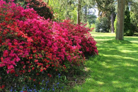 April showers, May flowers: What to know about your azaleas and lawn