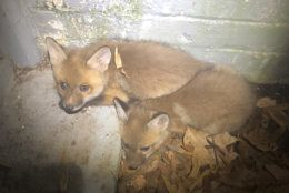 "The Humane Rescue Alliance got a call about two fox babies, known as kits, who were stuck in a basement window well in Northwest, and ""they weren't making it out,"" Dan D'Eramo, the director of field services, told WTOP. (Courtesy Humane Rescue Alliance)"