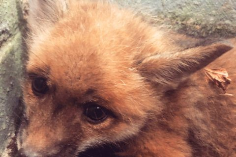 Mother and child reunion: Fox family reunited after DC rescue