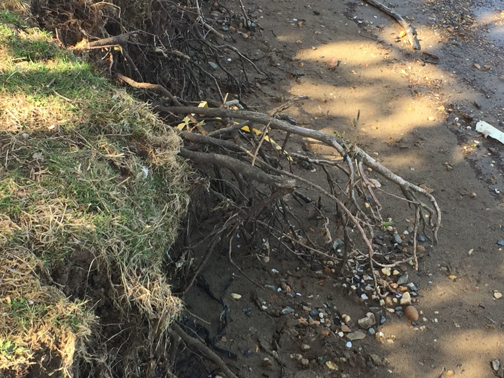 Another effect of the weakened seawall: The roots of the famed cherry trees are exposed and dangling in the open air.(WTOP/John Domen)