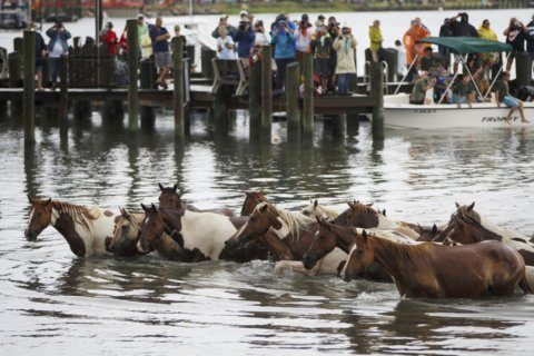 Wild ponies corralled after visitors ignore warnings