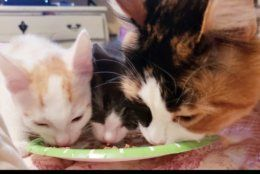 The calico Sydney gets dry food because her mom says wet food is expensive and messy. (Courtesy Jennifer Smith)