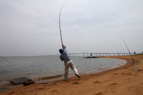 Trophy-size rockfish season may be canceled in Va. as populations dwindle