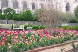 Tulips bloom in the Bishop's Garden at the Washington National Cathedral. (WTOP/Abigail Constantino)