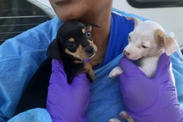The dogs range in age from only a of couple months old to 7-years-old. The chihuahuas were part of a massive rescue of 250 dogs from a breeder's home in Mississippi. (WTOP/Miuke Murillo)