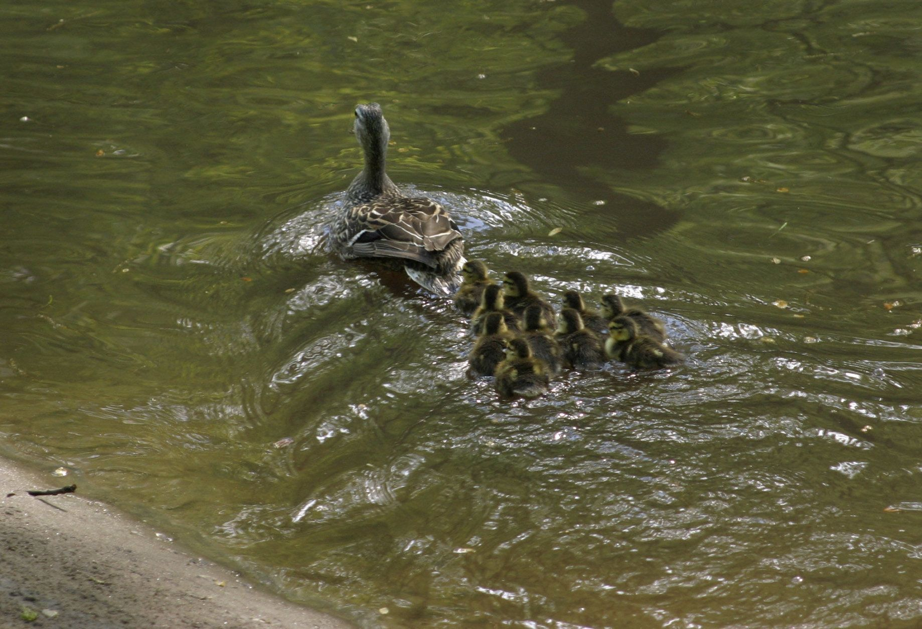 A mother mallard duck takes a first swim with her ducklings in Rock Creek Park after being transported to the there in a motorcade Sunday May 1, 2005, after the ducklings hatched in front of the U.S. Treasury building on Pennsylvania Avenue near the White House, where the mother mallard had nested for four weeks.  (AP Photo/Adele Starr/Pool)