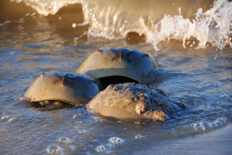 Heading to a beach along the Atlantic? Horseshoe crabs will join you
