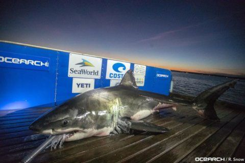 2 giant sharks lurking off South Carolina coast