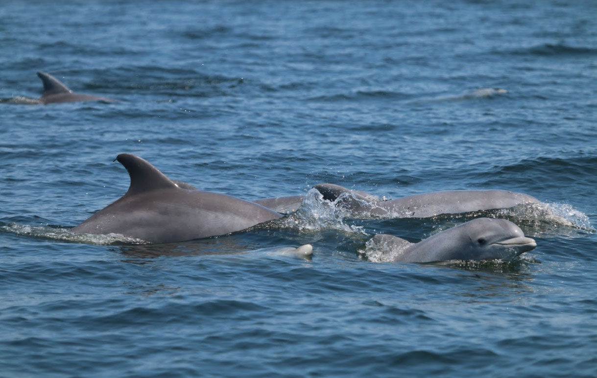 The Potomac dolphins are even having babies. (NMFS Permit No. 19403)