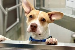 Gabby, the 7-month-old pup with big ears and a bigger heart, is WTOP's Pet of the Week. (Courtesy Humane Rescue Alliance)