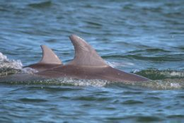 The Potomac-Chesapeake Dolphin Project and the Potomac Conservancy are looking for the public's ideas on what to name two of the more than 1,000 dolphins that have been sighted in the Potomac and the Chesapeake Bay. (NMFS Permit No. 19403)