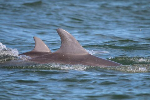 Nature groups ask public to name 2 Potomac River dolphins