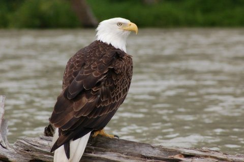 Researchers say bald eagle recovery hits new milestone