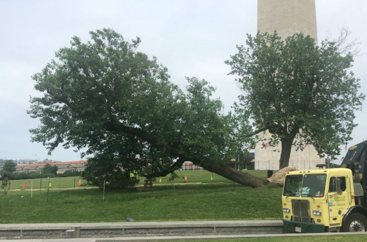 Crews lift the fallen mulberry tree on the grounds of the Washington Monument. (Courtesy National Park Service)