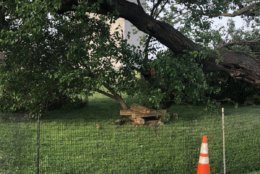 The recently repaired mulberry tree on the grounds of the Washington Monument suffers further damage after a storm on Thursday, May 22, 2019. (Courtesy National Park Service)