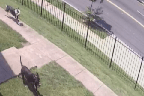Pit bulls maul DC woman as she took out trash, dogs shot