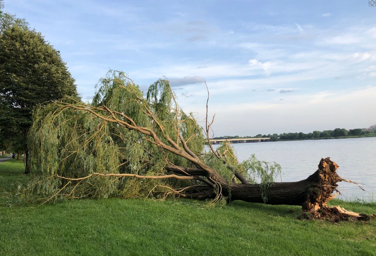High winds down a weeping willow in West Potomac Park in D.C. during a storm on Thursday, May 23, 2019. (WTOP/Dave Dildine)