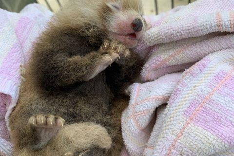 PHOTOS: Endangered red panda born at Smithsonian
