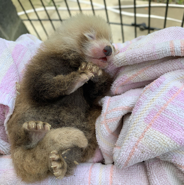 Scientists weigh the red panda cub a week after its birth. (Courtesy Jessica Kordell/Smithsonian Conservation Biology Institute)