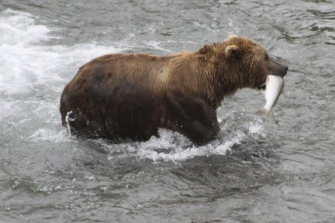 Katmai National Park trading in 'March Madness' for 'Fat Bear Tuesday'