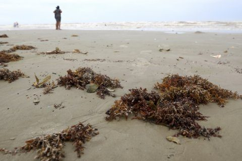 Homeowner groups OK to remove seaweed from Galveston beaches
