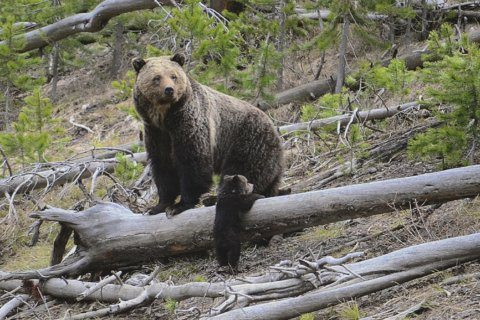 Emaciated grizzly bears in Canada spark greater concerns over depleted salmon population