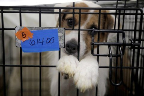 Some of nearly 200 rescued dogs almost ready for adoption in New Jersey