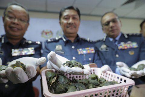 Malaysia detains 4 Indians, seizes drugs, 5,255 turtles