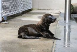 The Smithsonian National Zoo said Friday that the pup was born Sunday night and is doing well. (Smithsonian National Zoo/Rachel Metz)