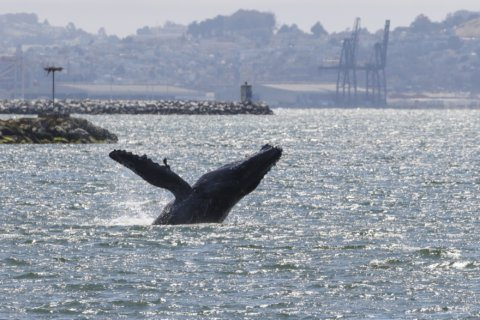 Experts: Humpback whale in San Francisco Bay appears ill