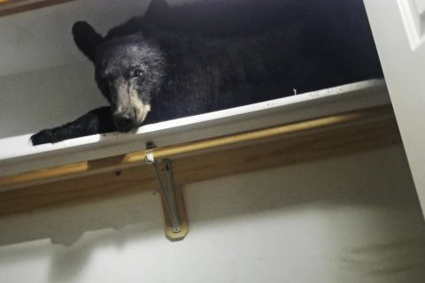 Bear enters Montana home, settles in for nap in closet