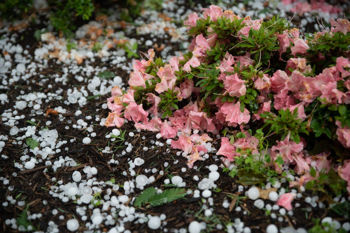 Flower bushes in D.C. took a beating with the heavy hail that fell upon the area Sunday. (WTOP/Alejandro Alvarez)