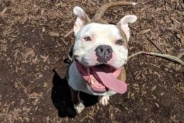 Meet Alonzo! This 3-year-old pup came to the Humane Rescue as a stray. He's a happy boy -- with short legs and a big head -- and he's looking for his forever home! (Courtesy Humane Rescue Alliance)