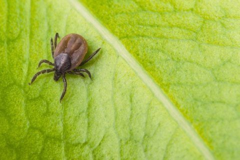 Research offers possible clues about persistent Lyme disease