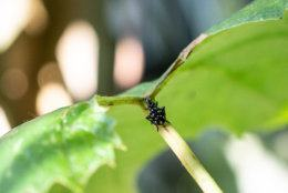 Close-up of black nymph stage on grape leaf. (Getty Images/iStockphoto)