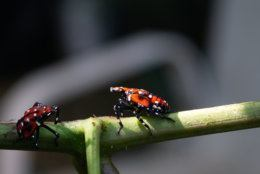 Close-up of spotted lanternfly nymph sits on wood fence before hopping away. (Getty Images/iStockphoto)