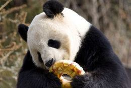 <p>Tian Tian has a treat to help beat the heat at Smithsonian&#8217;s National Zoo.</p>