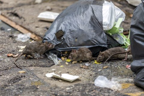 Yeah, Baltimore has rats, but DC has more — and more; record-breaking year expected