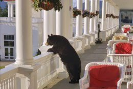 In this Saturday, June 29, 2019 photo provided by Sam Geesaman, a black bear peers over a railing on the back veranda at the Omni Mount Washington Resort just after sunrise at Mount Washington, N.H. After staff made noise, the bear climbed down the stairs and returned to the woods. (Sam Geesaman/Omni Mount Washington Resort via AP)
