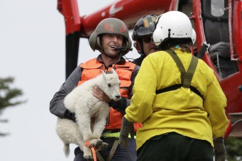 Mountain goat relocation resumes in Olympic National Park