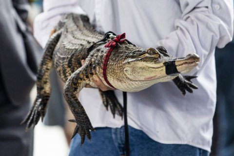 The Latest: Expert captures alligator at Chicago lagoon