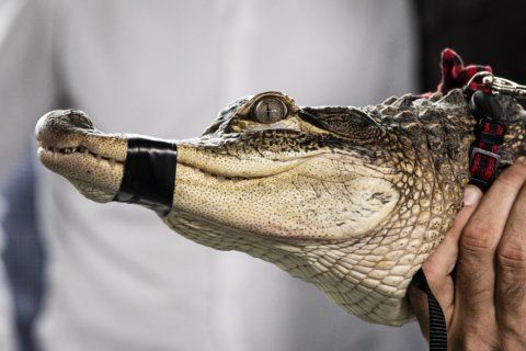 Chicago's elusive gator settles into new home in Florida