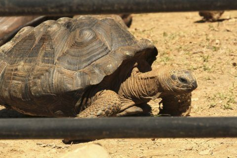 Giant tortoise dies at Little Rock zoo