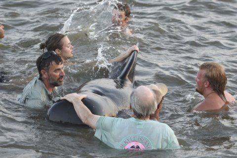 The Latest: Crews following whales after Georgia strandings