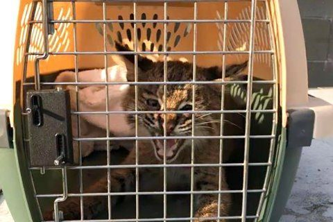 Officer trying to rescue kitten finds a bobcat instead
